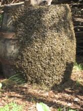 2011_Bienen-Wespen_06-2011_2